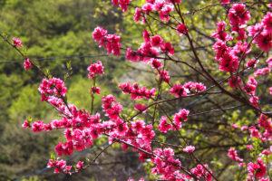 新緑と花桃
